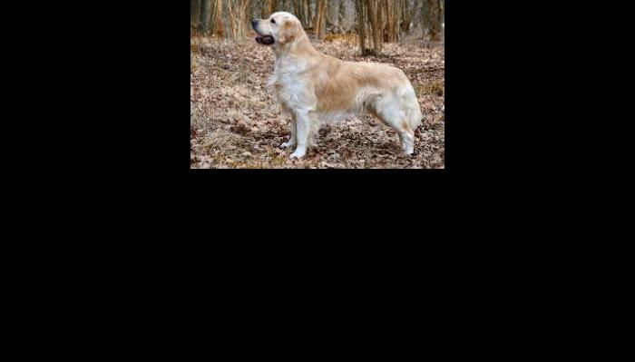 Image for 'Illinois Golden Retriever Resc' campaign on Freefunder